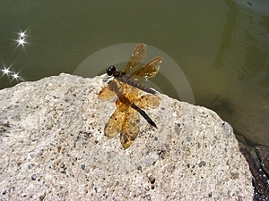 Dragon Fly Free Stock Image
