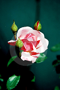 Pretty Rose Royalty Free Stock Images - Image: 24859