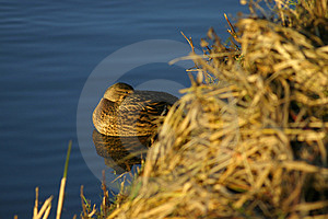 FV Duck In Water Royalty Free Stock Photos - Image: 25128
