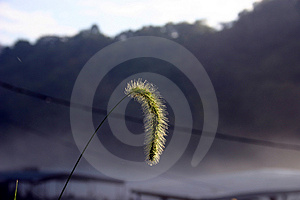 Early AM Seed Head Royalty Free Stock Photos - Image: 25348
