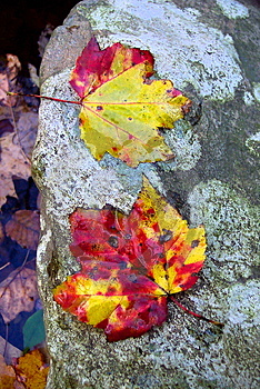 Maple Leaf Pair Royalty Free Stock Photography - Image: 26737