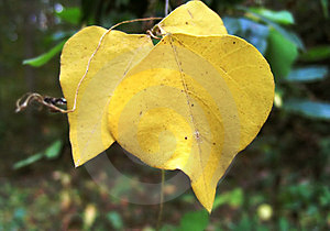 Yellow Fall Leaves Stock Images