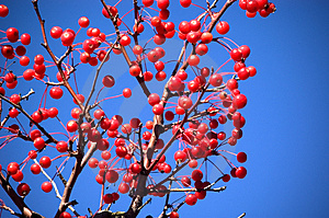Multiple Red Berries Royalty Free Stock Photography - Image: 27737