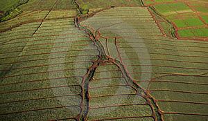 Pineapple Field Aerial Patterns Royalty Free Stock Photo - Image: 28155
