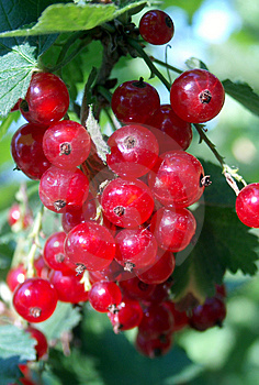 Red Currant Royalty Free Stock Photos - Image: 28528