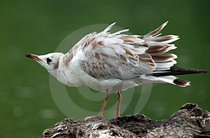 Seagull Royalty Free Stock Image - Image: 29206