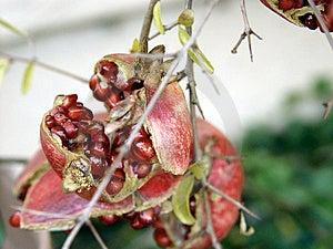 Pomegranate Royalty Free Stock Image - Image: 29426