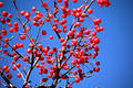 Multiple Red Berries Free Stock Photography