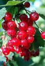 Red currant Free Stock Photos