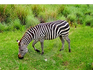 Zebra Graze Stock Photography