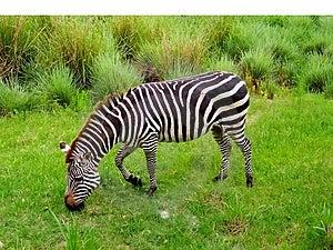 Zebra Graze Stock Photography