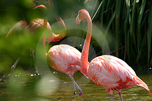 Flamingos Free Stock Photography