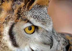 Great Horned Owl Close Up Stock Photography