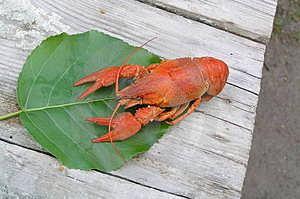 Crayfish Free Stock Photography