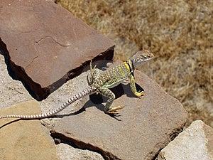 Lizard Free Stock Image