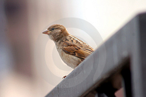 Little Brown Bird in a Big City Royalty Free Stock Photos