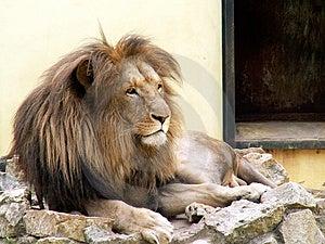 Lion Free Stock Photo