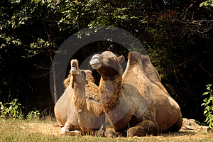 Camel Cry Free Stock Images