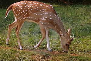 Fawn Free Stock Photos