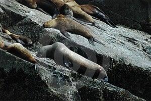 Steller的海狮 库存图片