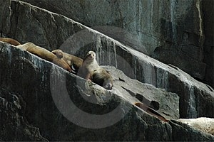 Λιοντάρι 1 θάλασσας Steller Στοκ Φωτογραφία