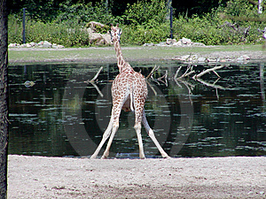 Giraffe Drinking Free Stock Photography