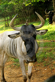 Wildebeest Stock Image