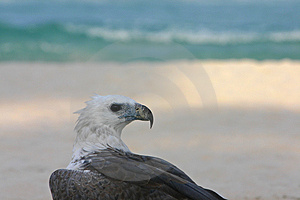 Eagle By The Sea Imagem de Stock Royalty Free
