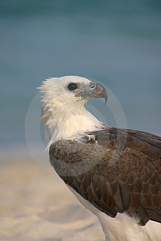 Eagle By The Sea Fotos de Stock Royalty Free