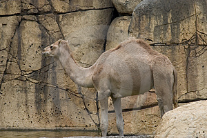 Camel Free Stock Photos