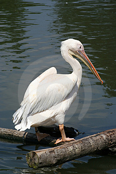 Pelican Free Stock Photo