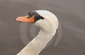 Swan Head Stock Image