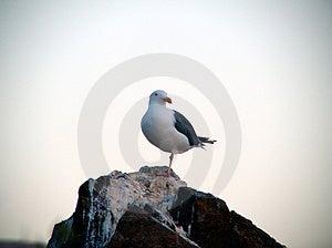 Gull Free Stock Image