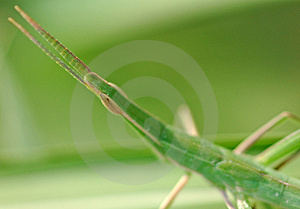 Green Grasshopper Free Stock Photography