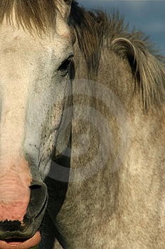Horse (Closeup) Royalty Free Stock Photo