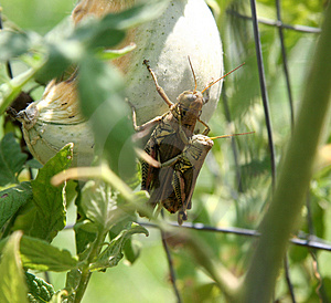 Mating Grasshoppers Free Stock Images
