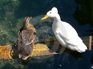 2 patos Foto de Stock Royalty Free