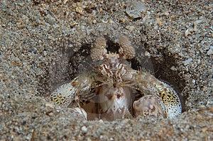 Mantis Shrimp Free Stock Photos
