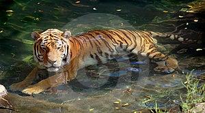Tigre siberiano (de Amur) en piscina Imagenes de archivo