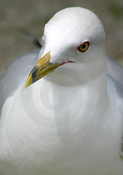 Seagull Portrait Royalty Free Stock Photography