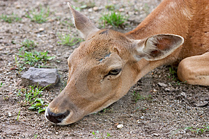 Deer Free Stock Image