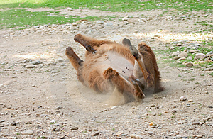 Llama Rolling Stock Photography