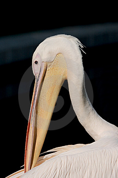 Pelican's Head Stock Photography