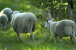 Running Sheep Free Stock Photo