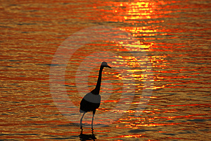 Reddish Egret At Sunset Free Stock Photography