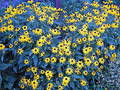 Field of Blue and Yellow Royalty Free Stock Photo