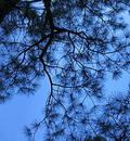 Saphire Sky through needles Stock Photography