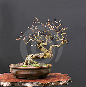 Honeysuckle bonsai in winter Stock Images