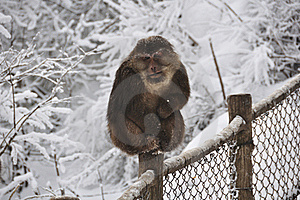Monkey In The Snow Royalty Free Stock Images - Image: 20006729