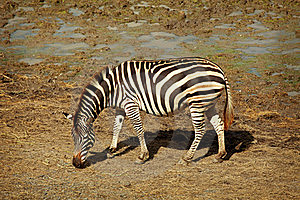 One Zebra Royalty Free Stock Image - Image: 20006786